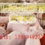 山东仔猪沂水仔猪临沂仔猪猪场图片