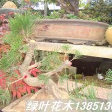 供应树木盆景雀梅盆景