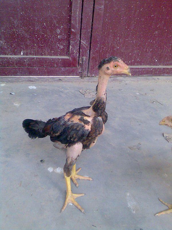 供应泰国斗鸡2008年中国体操队图片