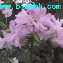 供应北京肥皂草