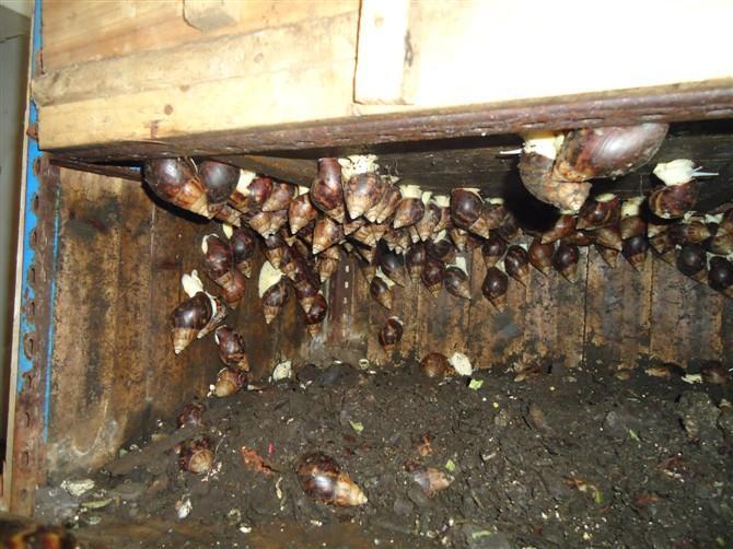 白玉蜗牛养殖前景_白玉蜗牛养殖前景白玉蜗牛养殖效益特种养殖