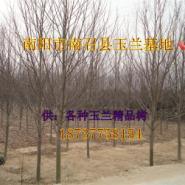 低价供应枫杨15到60公分土丘全冠大图片