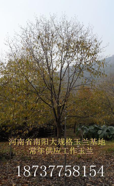 供应低价供应一年生丝绵木小苗100万棵
