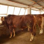 甘肃兰州小尾寒羊价格种羊养殖场杜图片