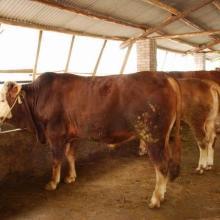 供应湖北兴山肉牛养殖场Y肉牛养殖基地(#)湖北秭归肉牛养殖场图片