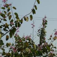 广西洋紫荆树苗图片