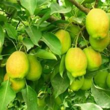 供应香梨纯天然水果