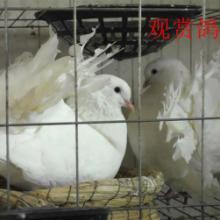 供应山东鲁山种鸽养殖场供应白羽王鸽银王鸽,元宝鸽,观赏鸽批发