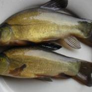 丁岁鱼须岁鱼红丁桂鱼图片