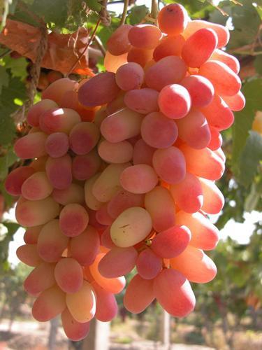 陕西葡萄销售
