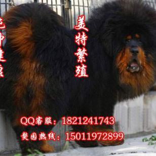 广州哪里有卖藏獒铁包金红獒到哪里图片