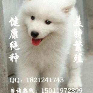 纯种萨摩耶萨摩耶幼犬萨摩图片图片