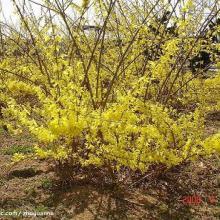 供应落叶灌木迎春花