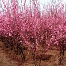 供应落叶灌木榆叶梅