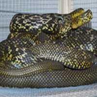 供应蛇,蛇苗,蛇种,蛇蛋,蛇胆,大王蛇,眼镜蛇,五步蛇,水律蛇,乌稍 图片 效果图