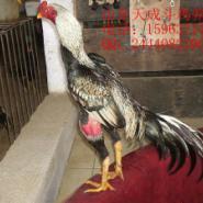 鸡传染性贫血病图片