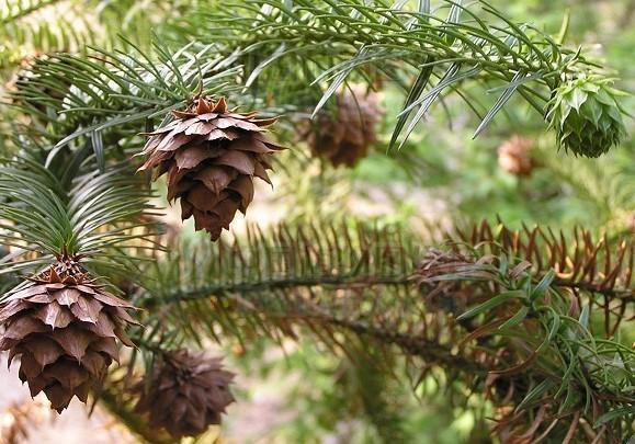供应今年广西融水30年杉树林区新产优质杉树种子