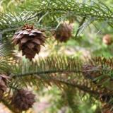 购买杉树种子请选择融水地产杉树种子