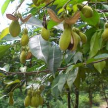 供应用于的沉香种子