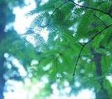 上海落羽杉水杉报价,种子绿化苗木批发,上海落羽杉水杉价格