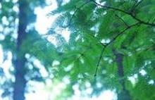 上海落羽杉水杉报价,种子绿化苗木批发,上海落羽杉水杉价格图片