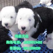 广州纯种古代牧羊犬纯种古牧幼犬图片