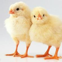 供应海赛克斯蛋鸡