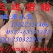 大约克猪价行情杜长大猪图片