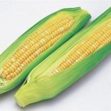 供应玉米黄