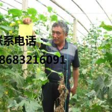 供应四川白色水果黄瓜/电话18683216091