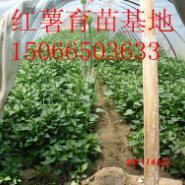 龙薯九地瓜苗图片