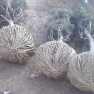 珍贵绿化苗木白皮松图片