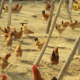 供应树林散养鸡