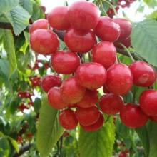 【红叶李】山东红叶李小苗3公分红叶李季风园艺场图片
