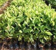 广西楠木苗楠木种子图片