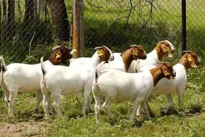 供应云南肉羊养殖场,肉羊品种,肉羊价格,肉羊厂家