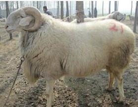 供应黑龙江肉羊养殖场图片