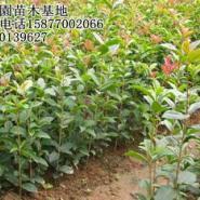 供应桂花扦插苗 1年生 20厘米以上 公司批发