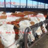 供应利木赞牛养殖效益怎么样-