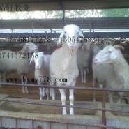 黑山羊小尾波尔青山羊养殖效益图片