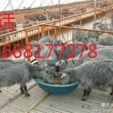 供应黑山羊种羊适合放养还是圈养