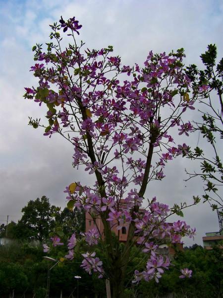 供应宫粉紫荆图片