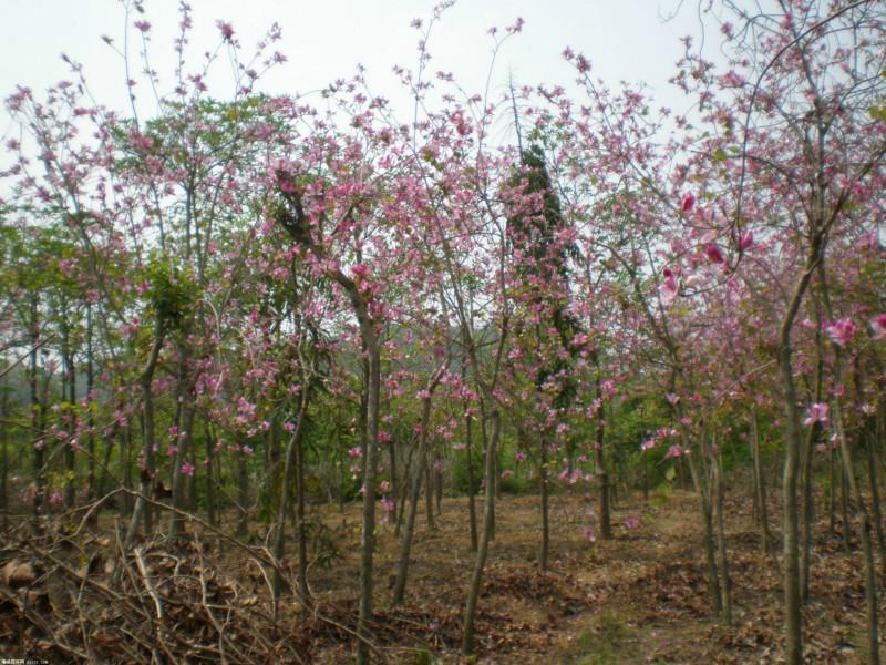 供应广西宫粉紫荆种植基地图片