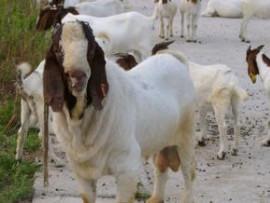 山东波尔山羊价格图片