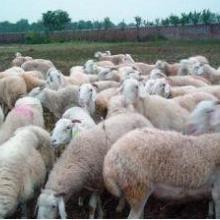 供应哪里有小尾寒羊,哪里有小尾寒羊批发