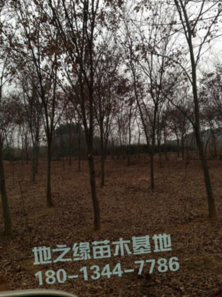 供应镇江榉树价格图片
