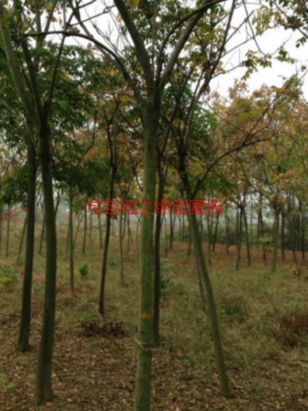 供应江苏5公分黄山栾树价格图片