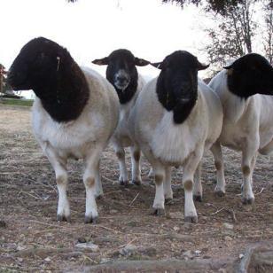 波尔山羊小尾寒羊杜寒杂交羊图片