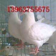 肉鸽养殖管理方法图片