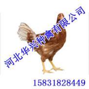 父母代种鸡华兴种禽为您提供图片
